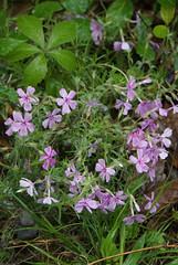10 Moss phlox (Phlox subulata) (anne.kane) Tags: 40acrerock southcarolina wildflowers waterfalls naatureconservancy