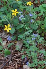 3 phacelia and company (anne.kane) Tags: 40acrerock southcarolina wildflowers waterfalls naatureconservancy