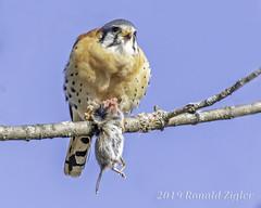 American Kestrel with Prey IMG_2177 (ronzigler) Tags: birdwatcher falcon bird avian wildlife nature birdofprey raptor kestrel american prey birdsofprey