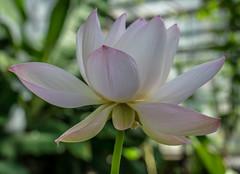 Schönheit (KaAuenwasser) Tags: lotosblume blüte blume pflanze gewächs wasserpflanze gros schönheit nah botanischergartenkit karlsruhe gewächshaus exotisch