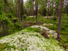 Forest (Thomas Males) Tags: callunavulgaris nature beautiful commonheather fairytale forest green heather landscape ling moss mossy outdoor path pine plant tree trees wood woodland woods