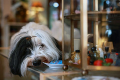 The Store Dust Rag (Ian Sane) Tags: ian sane images thestoredustrag dog cute face lounging sleeping scammer schemer antique store shop counter top downtown cannon beach oregon portrait canon eos 5ds r camera ef50mm f14 usm lens