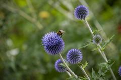 20190811_AugustMix2019_1848 (ShakeyDave) Tags: d750 nikon park golden acre leeds city flowers colour summer 2019 august david stevens west yorkshire