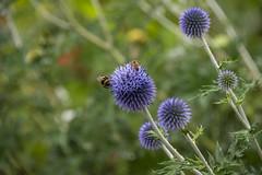 20190811_AugustMix2019_1843 (ShakeyDave) Tags: d750 nikon park golden acre leeds city flowers colour summer 2019 august david stevens west yorkshire