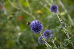 20190811_AugustMix2019_1841 (ShakeyDave) Tags: d750 nikon park golden acre leeds city flowers colour summer 2019 august david stevens west yorkshire
