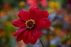 20190811_AugustMix2019_1823 (ShakeyDave) Tags: d750 nikon park golden acre leeds city flowers colour summer 2019 august david stevens west yorkshire