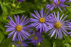 20190811_AugustMix2019_1818 (ShakeyDave) Tags: d750 nikon park golden acre leeds city flowers colour summer 2019 august david stevens west yorkshire