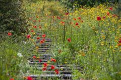 20190811_AugustMix2019_1875 (ShakeyDave) Tags: d750 nikon park golden acre leeds city flowers colour summer 2019 august david stevens west yorkshire