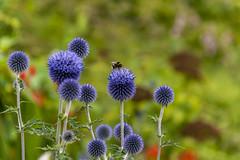 20190811_AugustMix2019_1857 (ShakeyDave) Tags: d750 nikon park golden acre leeds city flowers colour summer 2019 august david stevens west yorkshire