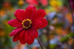 20190811_AugustMix2019_1824 (ShakeyDave) Tags: d750 nikon park golden acre leeds city flowers colour summer 2019 august david stevens west yorkshire