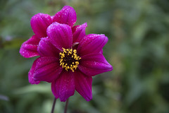 20190811_AugustMix2019_1822 (ShakeyDave) Tags: d750 nikon park golden acre leeds city flowers colour summer 2019 august david stevens west yorkshire