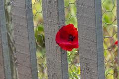 20190811_AugustMix2019_1903 (ShakeyDave) Tags: d750 nikon park golden acre leeds city flowers colour summer 2019 august david stevens west yorkshire