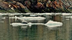 "Atop an Iceberg ""Bit"":  Harbor Seal Awaits Giving Birth to Her Pup (likely ~20 lbs/~9 kg) (Ginger H Robinson) Tags: iceberg pregnant harborseal animal mammal tracyarmfjord fjord tidal insidepassage coastalmountains southsawyerglacier glacier terminus southeastalaska alaska water reflection ice"