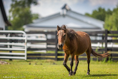 Mini Pearl (Samantha Decker) Tags: equine miniaturehorse equineadvocates chatham newyork canonef135mmf2lusm canoneos6d samanthadecker horse ny valatie unitedstatesofamerica