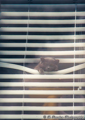 The Spy. (R. Sawdon Photography) Tags: cat blinds spy spying watching watcher sneaky looking