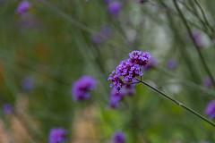 20190811_AugustMix2019_1899 (ShakeyDave) Tags: d750 nikon park golden acre leeds city flowers colour summer 2019 august david stevens west yorkshire