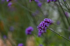 20190811_AugustMix2019_1898 (ShakeyDave) Tags: d750 nikon park golden acre leeds city flowers colour summer 2019 august david stevens west yorkshire