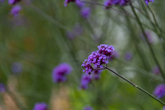 20190811_AugustMix2019_1897 (ShakeyDave) Tags: d750 nikon park golden acre leeds city flowers colour summer 2019 august david stevens west yorkshire
