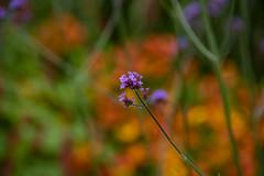 20190811_AugustMix2019_1896 (ShakeyDave) Tags: d750 nikon park golden acre leeds city flowers colour summer 2019 august david stevens west yorkshire