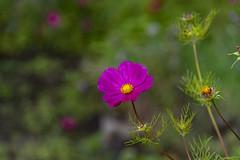20190811_AugustMix2019_1893 (ShakeyDave) Tags: d750 nikon park golden acre leeds city flowers colour summer 2019 august david stevens west yorkshire