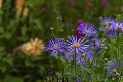 20190811_AugustMix2019_1902 (ShakeyDave) Tags: d750 nikon park golden acre leeds city flowers colour summer 2019 august david stevens west yorkshire