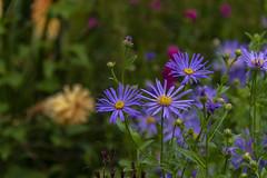 20190811_AugustMix2019_1901 (ShakeyDave) Tags: d750 nikon park golden acre leeds city flowers colour summer 2019 august david stevens west yorkshire
