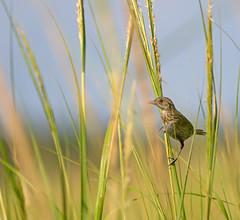 Seaside Sparrow (arlene sopranzetti) Tags: seaside sparrow thompson beach heislerville new jersey summer marsh bird