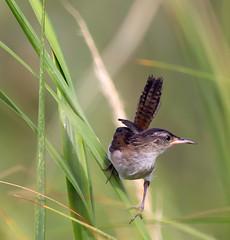 Marsh Wren (arlene sopranzetti) Tags: thompson beach heislerville new jersey marsh wren summer bird