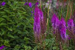 20190811_AugustMix2019_1895 (ShakeyDave) Tags: d750 nikon park golden acre leeds city flowers colour summer 2019 august david stevens west yorkshire