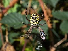 Argiope frelon (Argiope bruennichi) (pierre.pruvot2) Tags: arachnides arthropodes autresinvertébrés chemindufartz hautsdefrance lumixg9 macro olympus60mmmacro panasonic spider wissant
