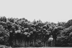 Bamboo forest (odeleapple) Tags: nikon d810 afs nikkor 50mm monochrome bw bamboo