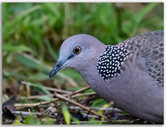 Spotted dove (Bear Dale) Tags: spotted dove scientific name spilopelia chinensis ulladulla southcoast new south wales shoalhaven australia beardale lakeconjola fotoworx milton nsw nikond850 photography framed nature nikon pigeon feral d850 nikkor afs 200500mm f56e ed vr