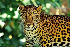 Jaguar - Costa Rica (AlaskaFreezeFrame) Tags: jaguar stare intense costarica sanjose zoo vacation outdoors wildlife nature closeup portrait canon 70200mm predator cat captive alert beautiful gorgeous spotted rosettes golden eyes jungle rainforest