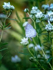 Livin' It Up (Portraying Life, LLC) Tags: cropapsc da3004 hd14tc k1mkii michigan pentax ricoh topazaiclear unitedstates butterfly closecrop handheld nativelighting meadow count nectar abundant