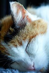 Macro Mondays Closed Eyes (Rivers, Lakes, Nature & Architecture) Tags: cat elgato chat kitty feline nature animal furry calico macro sigma nikon macromondays closed katzen face shut sleep pet