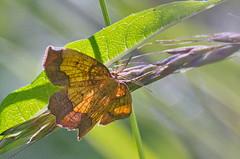 Haava-äärisvaksik; Epione vespertaria; Dark Bordered Beauty (urmas ojango) Tags: lepidoptera liblikalised insecta putukad insects moth vaksiklased geometridae nationalmothweek haavaäärisvaksik epionevespertaria darkborderedbeauty
