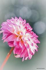 Dahli (josephzmuda2) Tags: pink dahlia summer stilllife plant flower color macro nature floral closeup botanical outdoors flora colorful day pittsburgh bokeh pennsylvania fineart nopeople northamerica singleflower beautyinnature