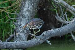 GREEN HERON - JUVENILE (nsxbirder) Tags: greenheron armlederpark ohio cincinnati juvenile hamiltoncounty birds