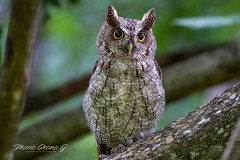 Pacific Screech-Owl (Mario Arana G) Tags: 7d ave bird birding cr canon costarica florayfauna guanacaste marioarana nature naturephotography owl pacificscreechowl photography wildlife wildlifecostarica