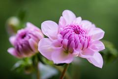 dahlia 5106 (junjiaoyama) Tags: japan flower dahlia plant summer pink bokeh macro