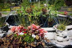 English garden 16: Pink coleus (vaneramos) Tags: assiniboinepark coleus manitoba winnipeg botanical foliage fountain garden pink water