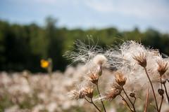 Lost in Canada (vaneramos) Tags: assiniboinepark canadathistle cirsiumarvense manitoba winnipeg bokeh botanical garden seeds white wildflower