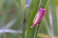 Oncocera semirubella; Rosy-striped Knot-horn (urmas ojango) Tags: lepidoptera liblikalised insecta putukad insects moth leediklased pyralidae nationalmothweek phycitinae phycitini oncocera oncocerasemirubella rosystripedknothorn