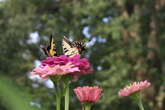 Pretty on Pink (sturner404) Tags: summer 2019 butterfly august garden zinnia eastern swallowtail easterntigerswallowtail