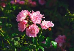 Pink Rose (Bephep2010) Tags: 2019 blume lomography lomographycolornegative400 olympus olympusafzoom35180mm145156 olympusis3 olympusis3000 photoexif rose schweiz solothurn sommer switzerland analog analogue flower pink rosa summer kantonsolothurn