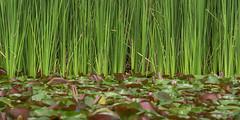 Pond life Colors 2019 (TheArtOfPhotographyByLouisRuth) Tags: pondlife pond lily waterlily green grass grassland landscape louisruthphotography composition peekaboosegoosehiddinggooseinweedsgoosewaterfowl