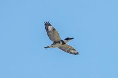 BELTED KINGFISHER (nsxbirder) Tags: beltedkingfisher armlederpark ohio cincinnati hamiltoncounty birds