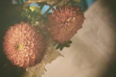 Simple Moments (flashfix) Tags: august152019 2019inphotos flashfix flashfixphotography ottawa ontario canada nikond7100 40mm stilllife dahlia flowers paper textures soft lines petals decay