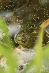 Frog (historygradguy (jobhunting)) Tags: easton ny newyork upstate washingtoncounty frog animal amphibian