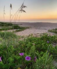 (skepvzrq47) Tags: southernliving saltlife nature seaside beach sunrise morningglories